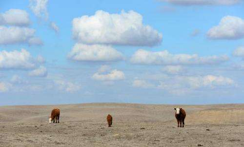 Hereford cattle roam dirt-brown fields on a farm in California's Central Valley, on February 3, 2014, which would at this time o