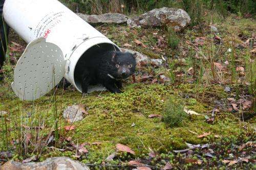 Infected Tasmanian devils reveal how cancer cells evolve in response to humans