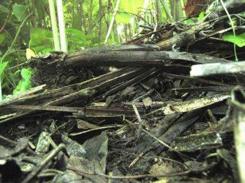 Kudzu can release soil carbon, accelerate global warming