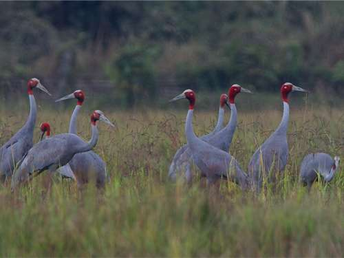 Large group of rare crane species found in northern Myanmar