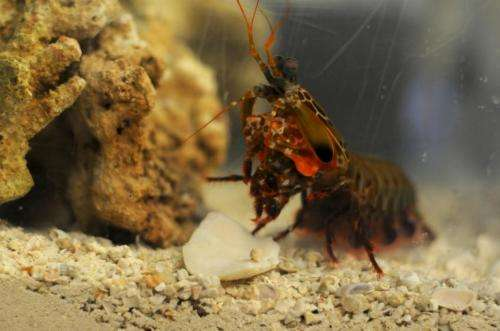 Mantis shrimp stronger than airplanes