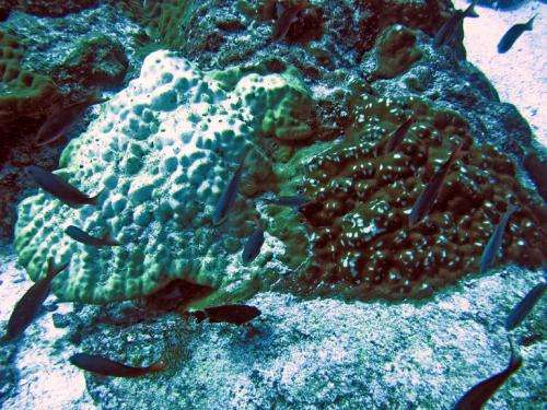 Marine biologists discover unrecognized species diversity that masks some corals' ability to respond to climate change