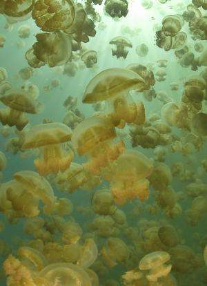 Marine scientists use JeDI to create world's first global jellyfish database
