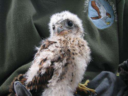 Mauritius kestrels show long-term legacy of man-made habitat change