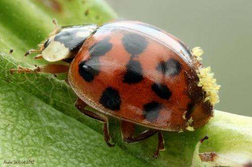 Natural enemies of exotic Asian ladybird discovered in the Netherlands