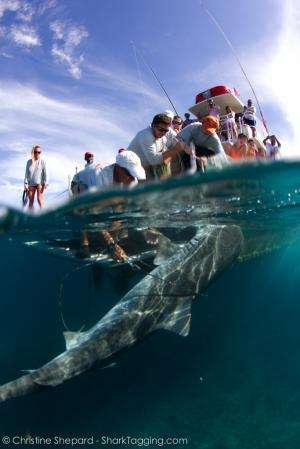 New study examines the effects of catch-and-release fishing on sharks