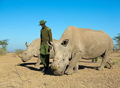 Ol Pejeta Conservancy extends breeding plan for the northern white rhinoceros