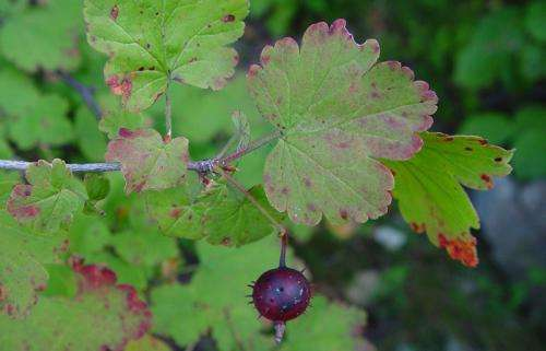 Researchers outline plan to save threatened gooseberry