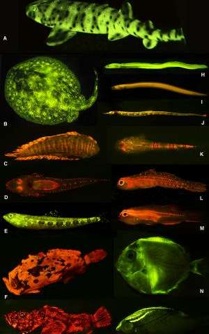 Researchers unveil rich world of fish biofluorescence
