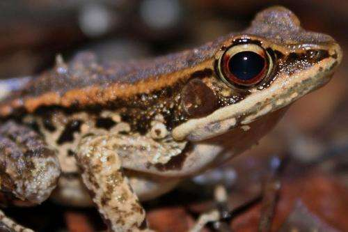 Study predicts ranavirus as potential new culprit in amphibian extinctions