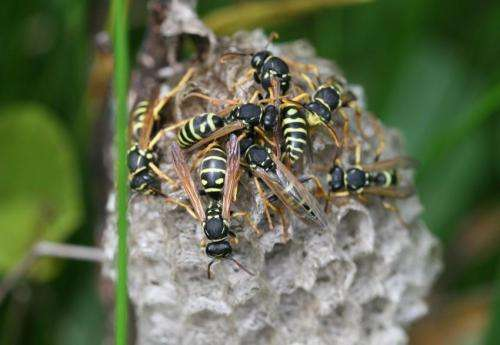 The Swiss paper wasp, a new species of social Hymenoptera in Central Europe