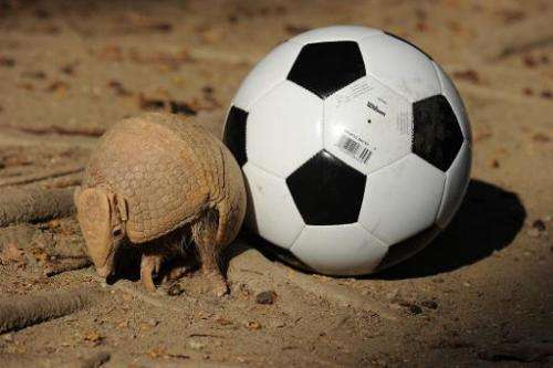 The Three-banded Armadillo pictured next to a football on September 18, 2012, in Rio de Janeiro, it is facing extinction