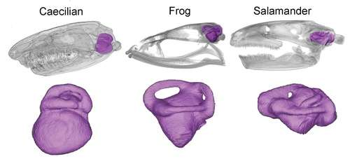 Underground amphibians evolved unique ear