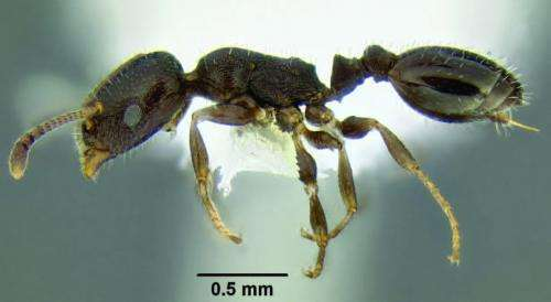 Unique specimen identifiers link 10 new species of ant directly to AntWeb