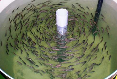 Vaccination of farmed fish good for animals and thus for humans
