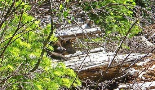 Wandering Oregon wolf has pups in Cascade Range