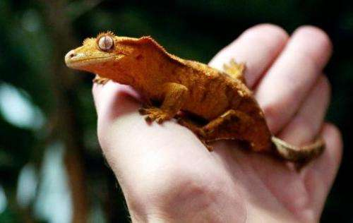 File picture shows a man holding up a Crested Gecko (Rhacodactylus ciliatus) in Paris on September 6, 2013