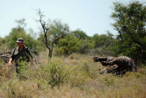 File picture shows an environmental crime investigator walking past the carcass of a rhinoceros killed by poachers at Houtboschr