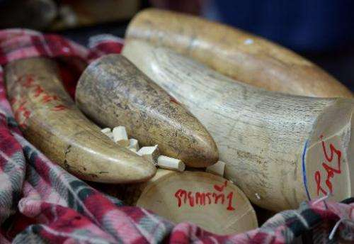This picture taken on August 30, 2013 shows confiscated elephant tusks displayed during a press conference at the customs office