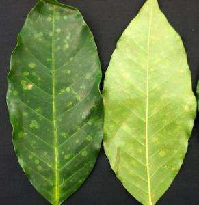 Citizen science effort encouraged to track new coffee pest