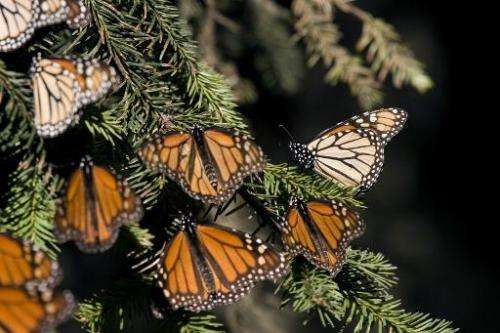 Monarch butterflies in Angangueo, Mexico on December 10, 2008