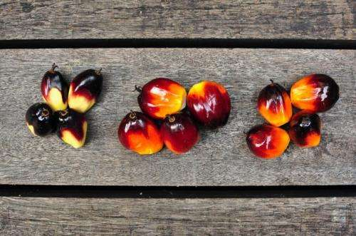 Newly identified gene provides reliable visual cue for oil palm fruit ripeness