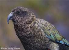 Researchers help shed new light on popular New Zealand parrot