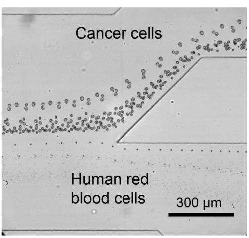 Tilted acoustic tweezers separate cells gently