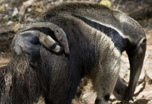 A picture taken May 18, 2009 shows giant anteaters at the Israeli zoo of Ramat Gan, near Tel Aviv