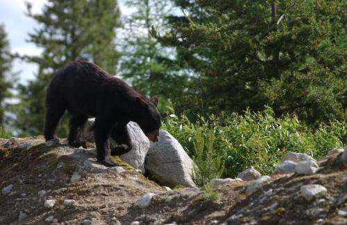 Researchers call for increased conservation efforts to save black bears