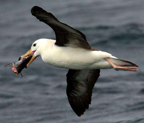 $200 bird scaring line for trawlers can cut albatross deaths by over 90 percent