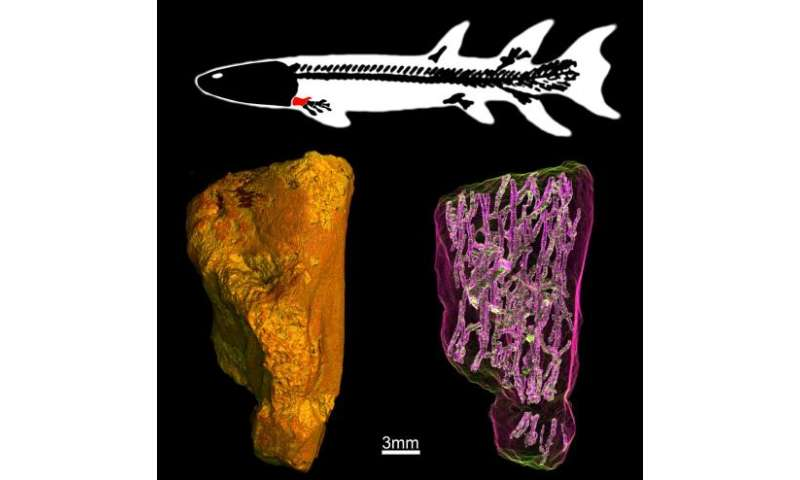 Earliest evidence of limb bone marrow in the fin of a 370 million year old fish