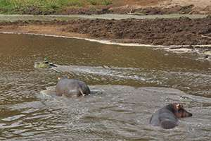Researchers use autonomous airboats to monitor hippo dung in Kenya's Mara River Basin