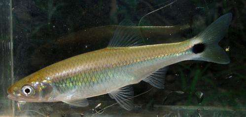 Researchers find fish 'yells' to be heard over human made noise