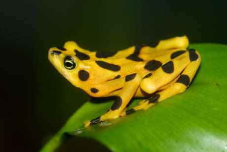Genetics reveal effects of deadly frog fungus