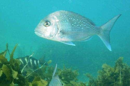 Marine reserves havens for large snapper