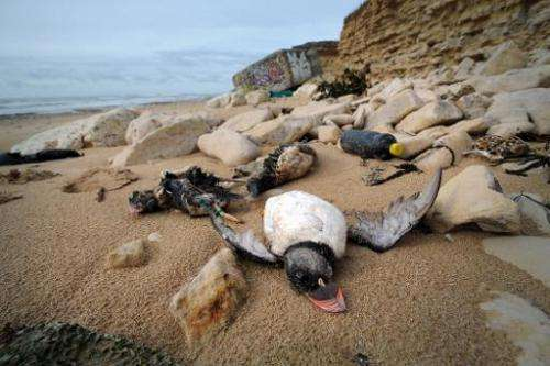 Photo taken on February 10, 2014 shows the bodies of puffins washed up on a beach in Sainte-Marie-de-Re, western France, after h