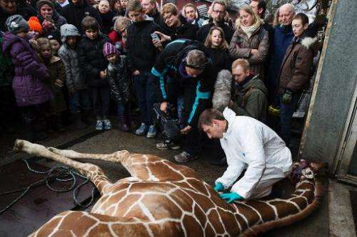 This handout photo released on February 11, 2014 shows a veterinarian making an open to the public autopsy on a giraffe Marius o