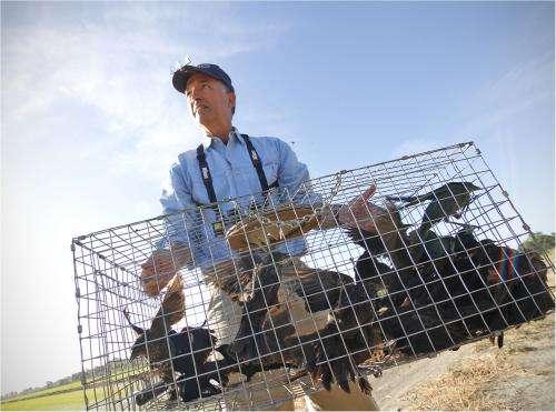 Survey says'California's blackbird in sharp decline