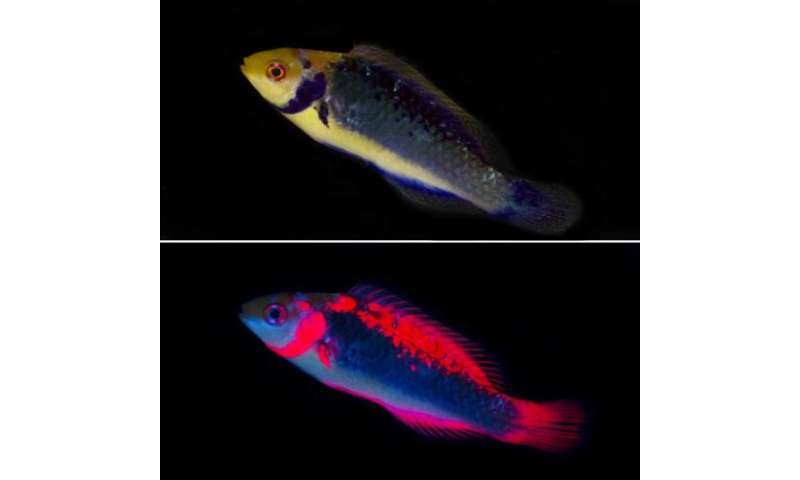Researchers find red fluorescence in fish is for vision not UV protection