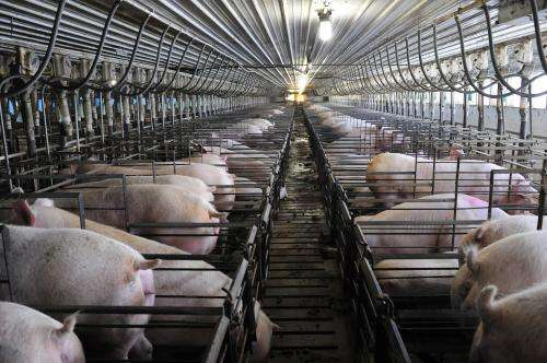 Research sheds light on feed efficiency in pigs