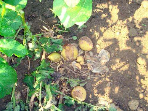 Establish the presence for the first time in Alava the fungus that causes potato blight