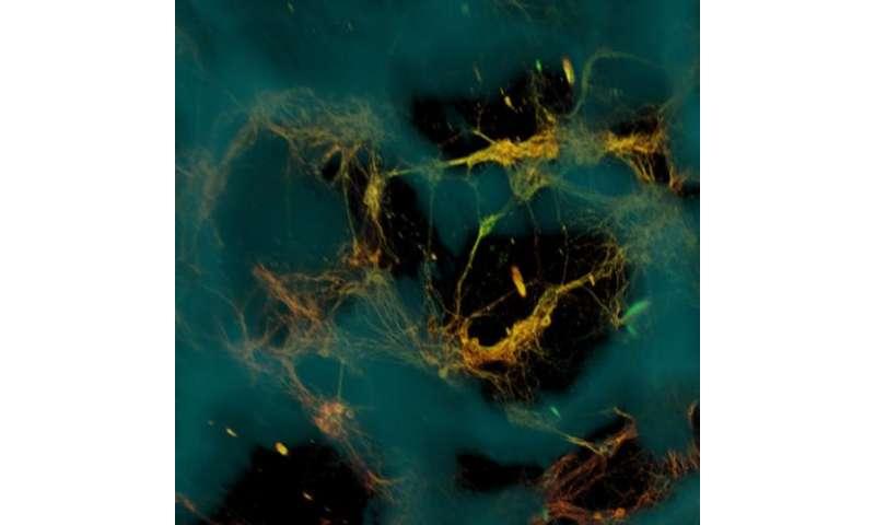 Bioengineers create functional 3-D brain-like tissue