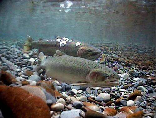 Iron, steel in hatcheries may distort magnetic 'map sense' of steelhead