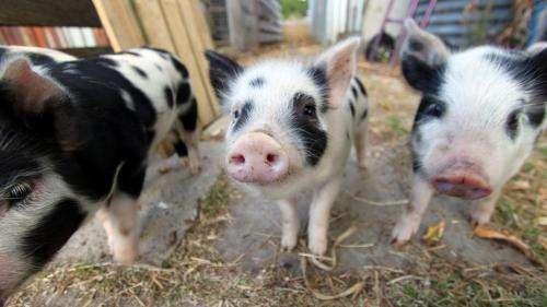Antibiotic resistant Golden Staph has been detected in Australian pigs, a