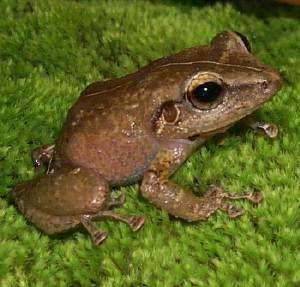 Study suggests global warming causing changes to the pitch of frog calls in Puerto Rico