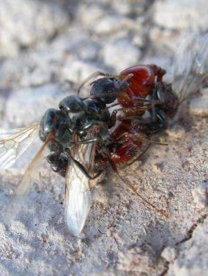 A battle for ant sperm