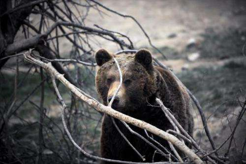 A brown bear  plays in a sanctuary near the village of Mramor, Serbia on March 1, 2014