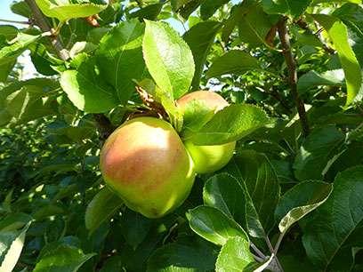 Abundant bugs bring better apples
