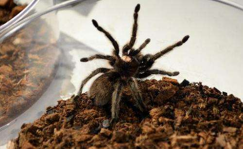 """A Chilean Rose Hair Tarantula sits in a bowl during a media preview for """"Spiders Alive"""" July 1, 2014 at the American M"""